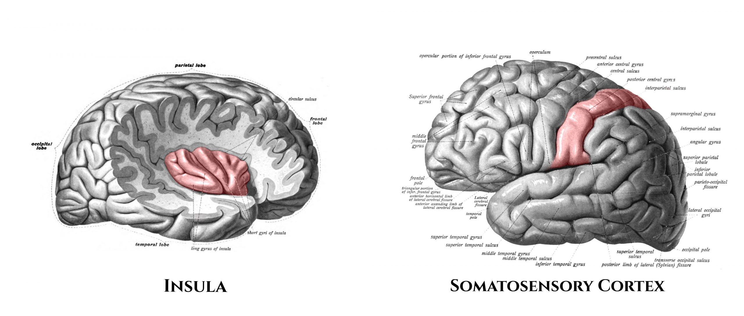 Insula and Somatosensory Cortex
